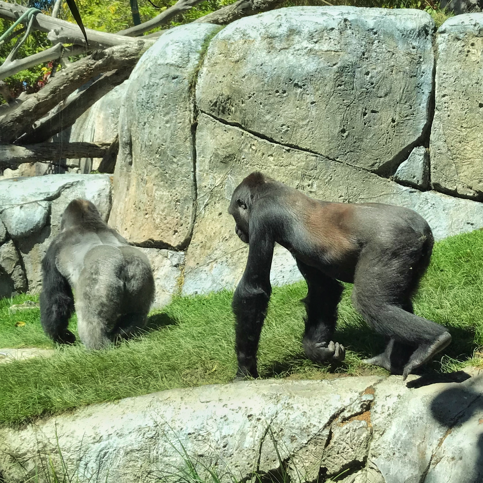 Life as a Gorilla