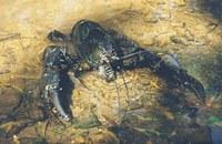 Astacopsis gouldi