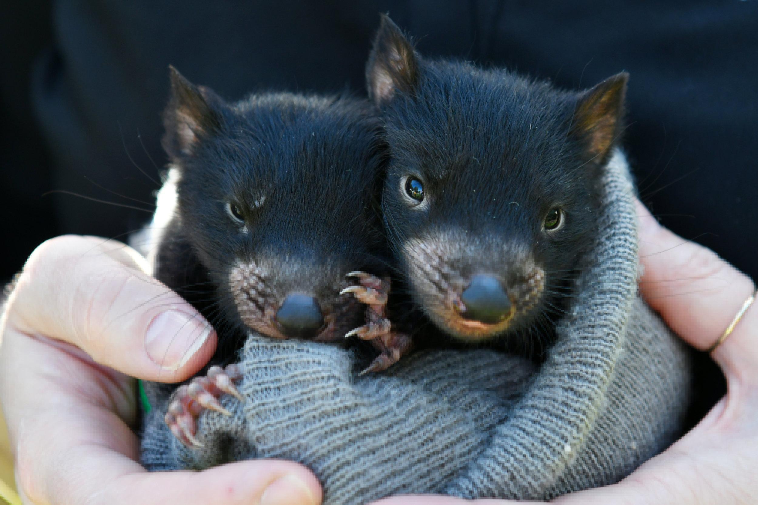 Tasmanian Devils at Wing's Wildlife Park. 📸 Brodie W.