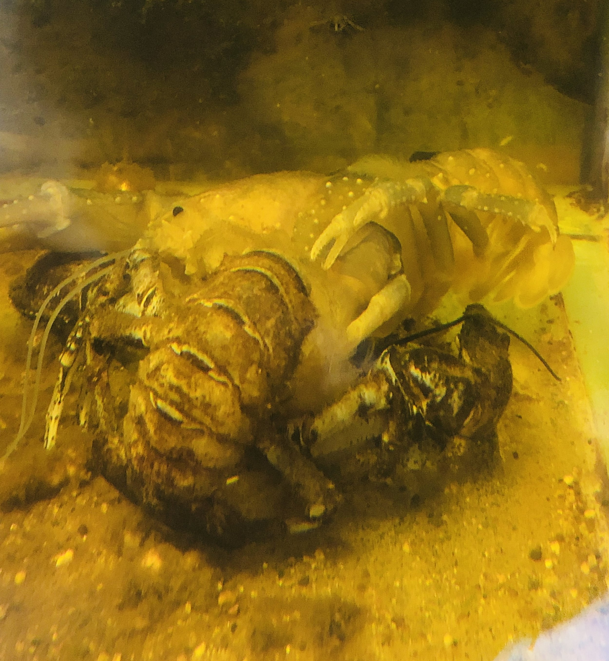 Freshwater lobster molting at Wing's Wildlife Park - Gunns Plains, Tasmania