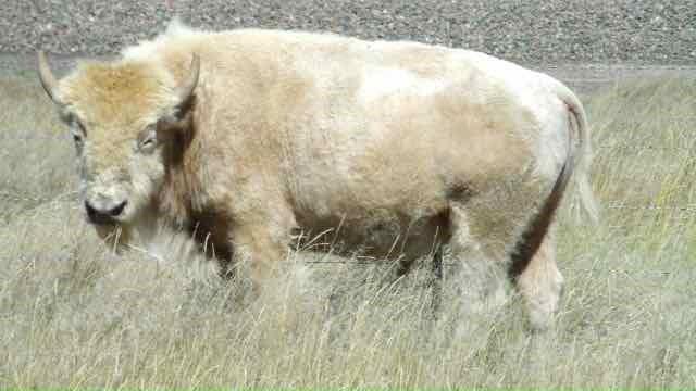 Bison X