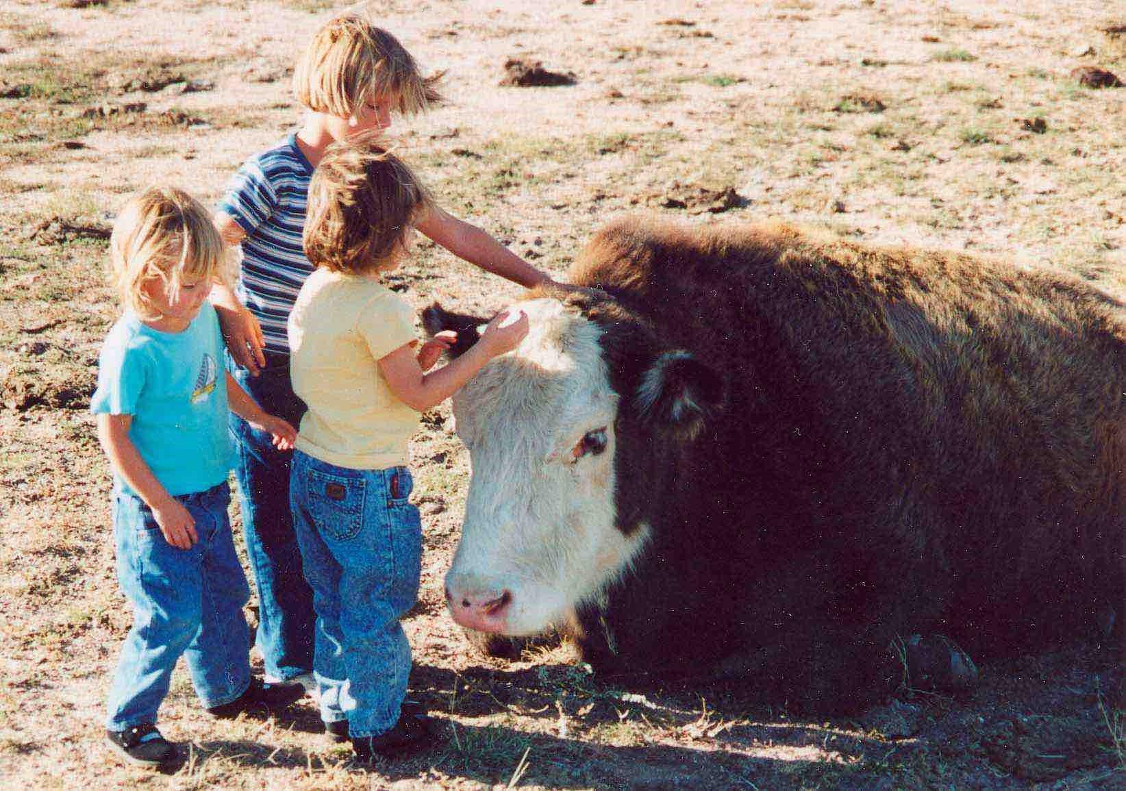 Beefalo cow
