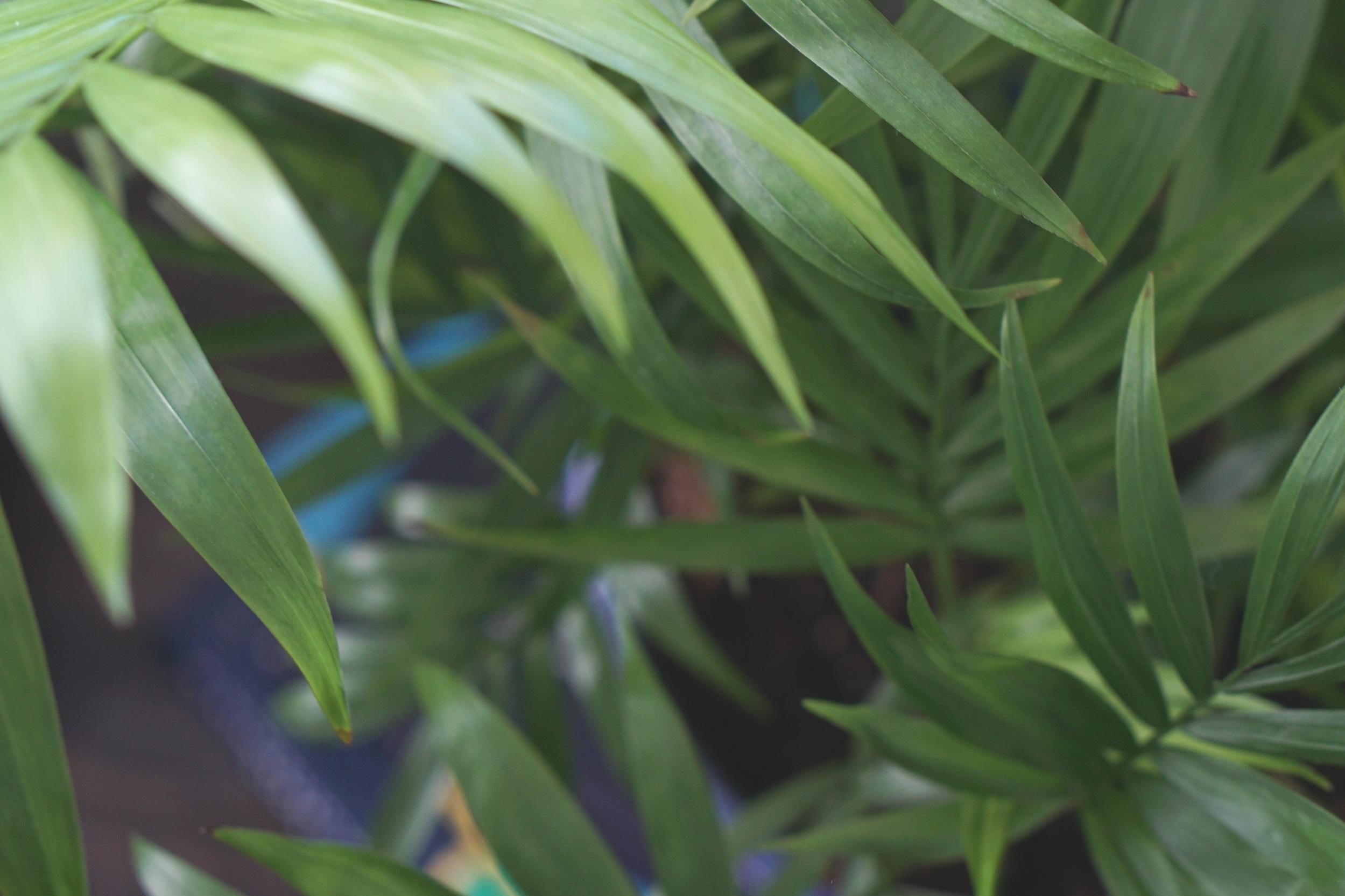 parlor palm plant.JPG