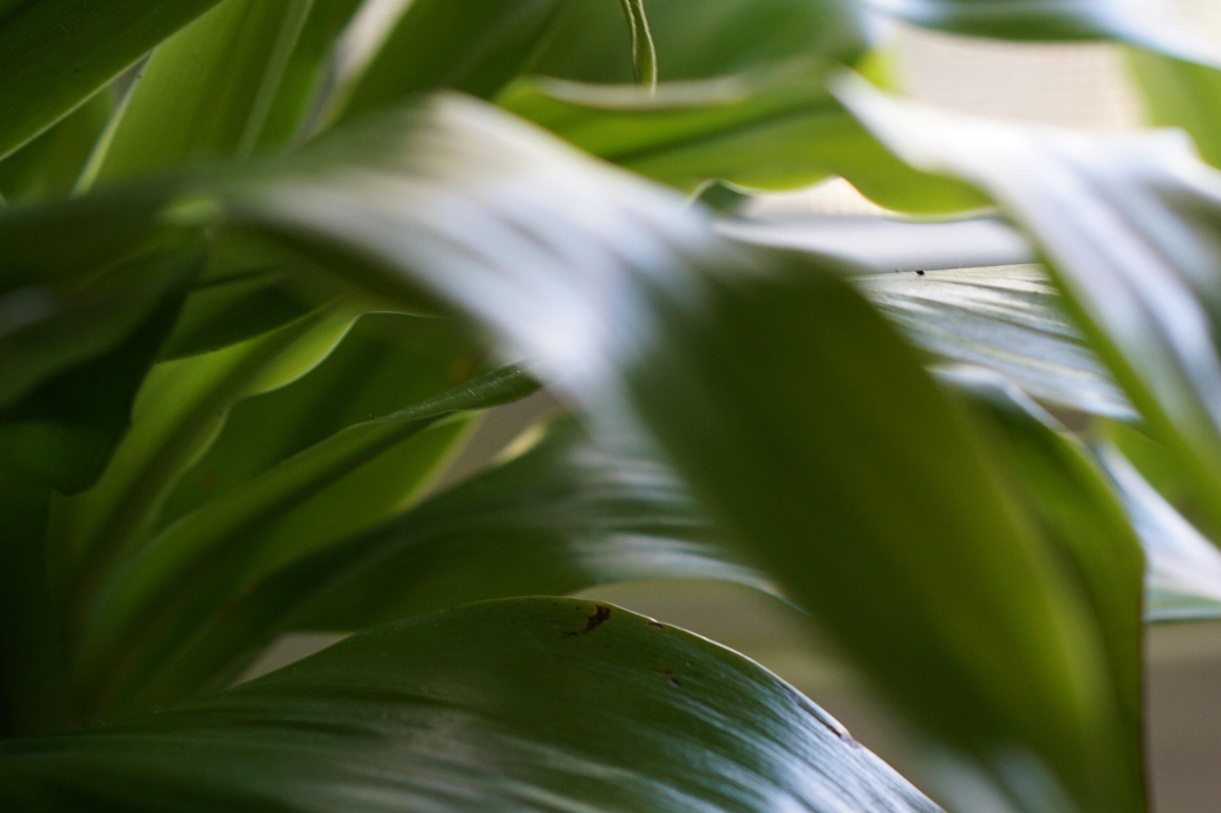 dracaena plant.JPG