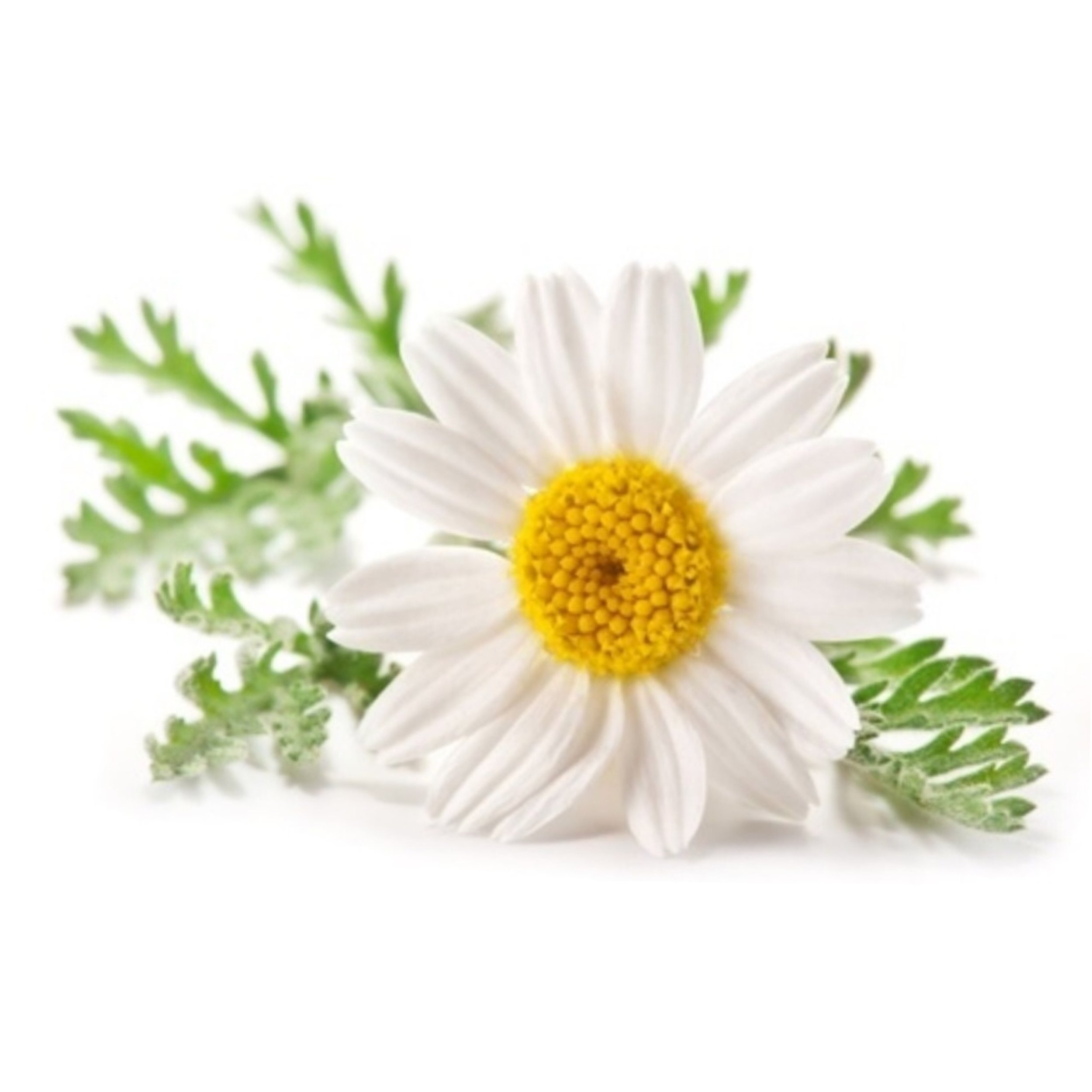 "CAMOMILE OIL   Relax & calm your skin. It soothes redness and irritation in a matter of seconds. ""It has amazing anti-inflammatory properties"
