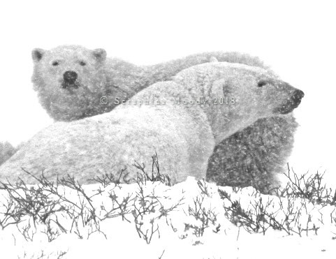 Churchill, Bears and Tundra Day 2 (54) crop.jpg
