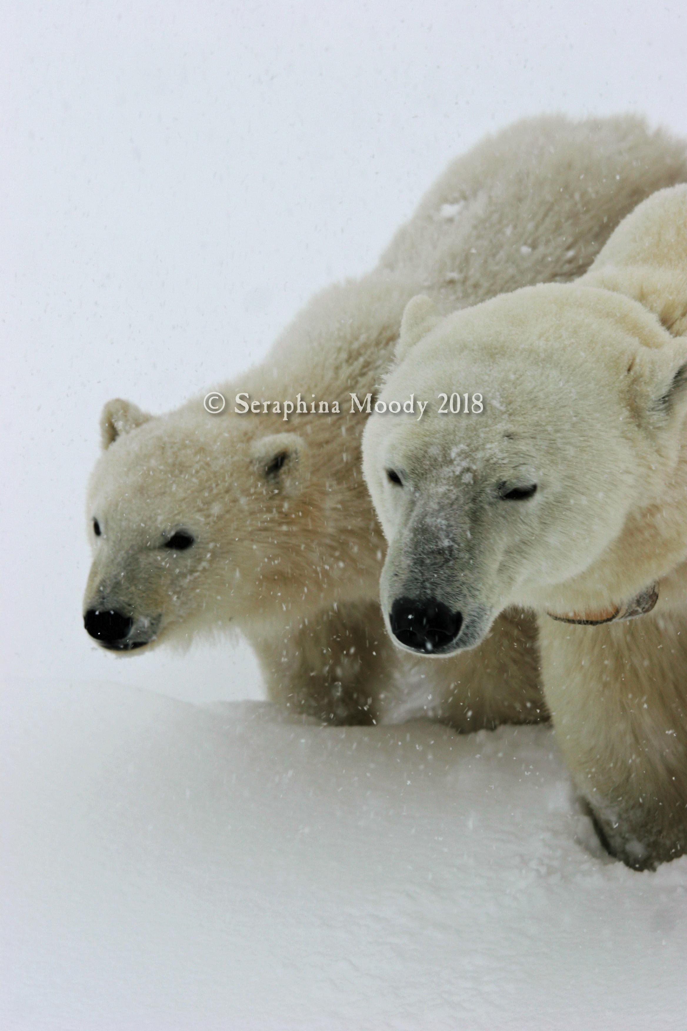 Churchill, Bears and Tundra Day 2 (169) o 1.jpg