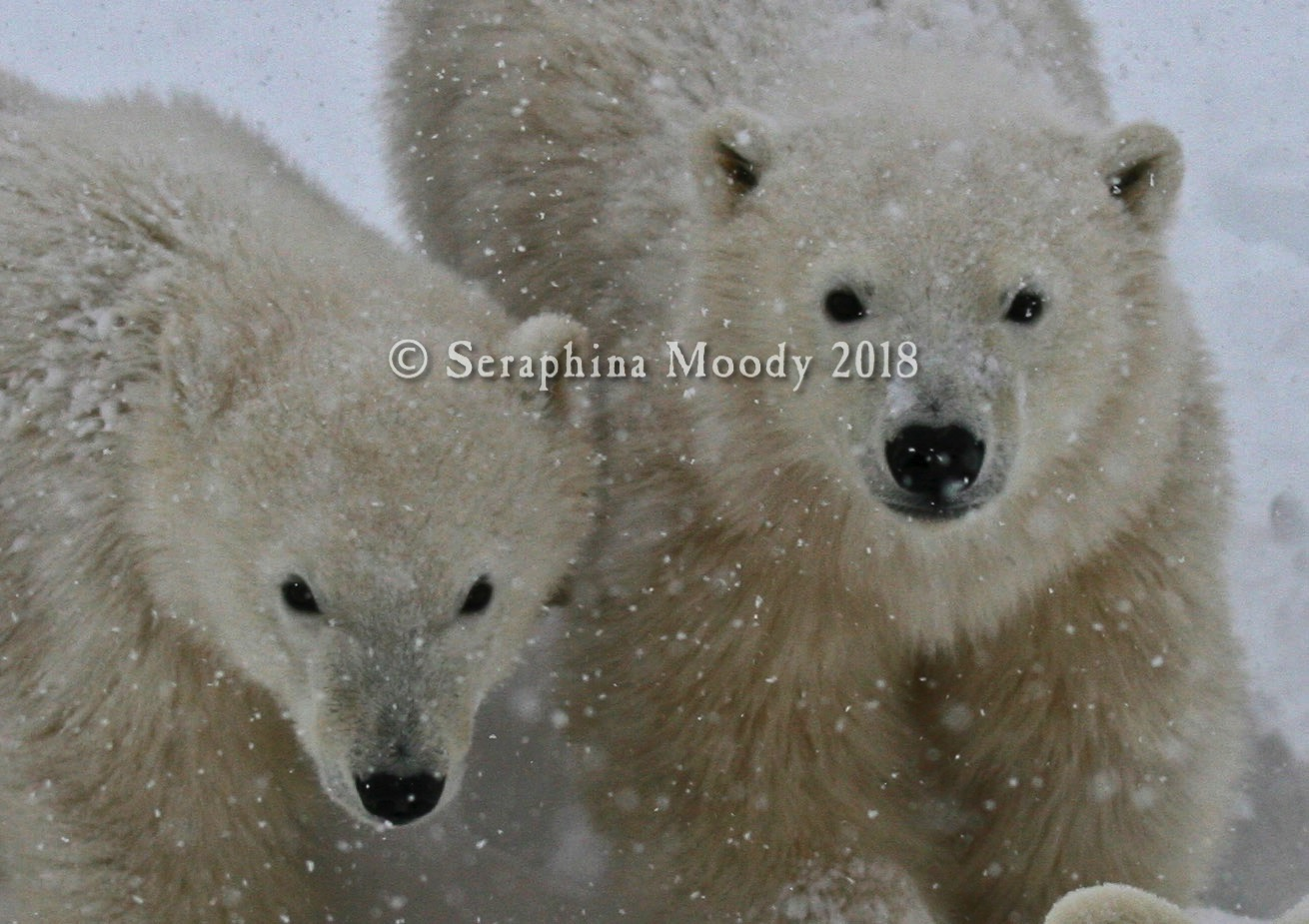 Churchill, Bears and Tundra Day 2 (182) crop a.jpg