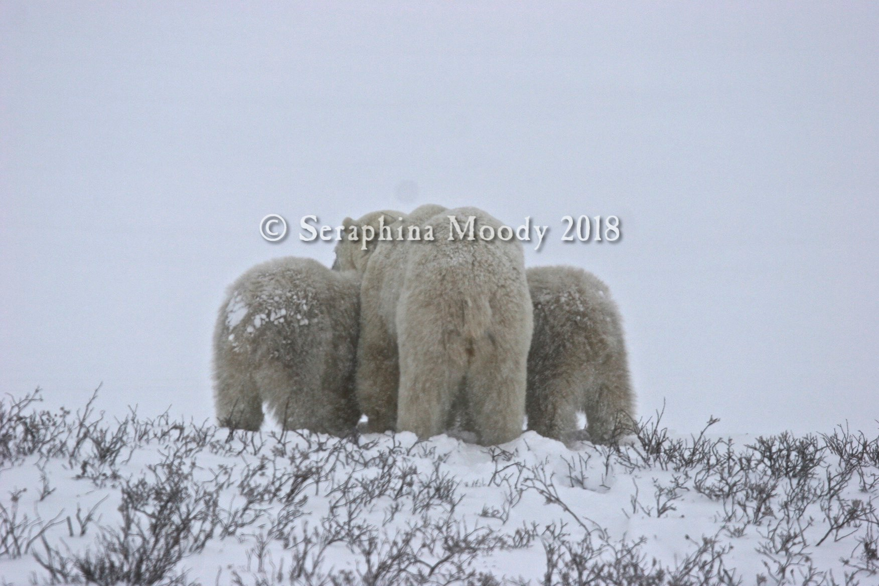 Churchill, Bears and Tundra Day 2 (212) 2.jpg