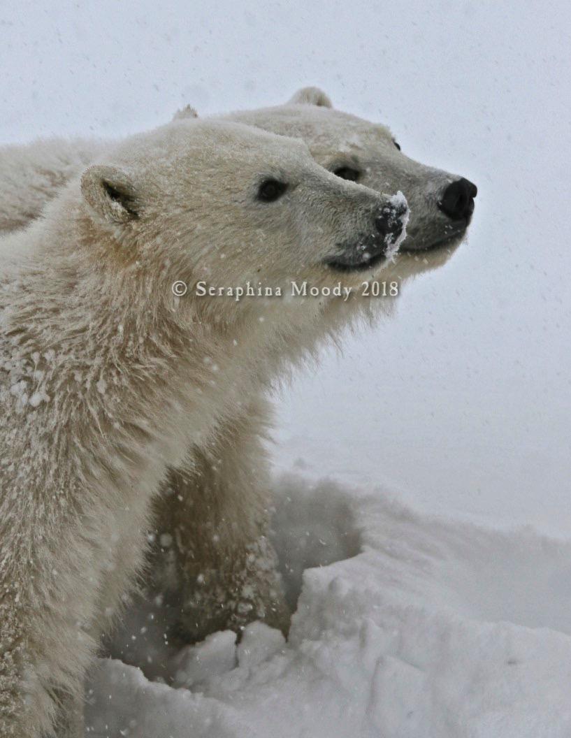 Churchill, Bears and Tundra Day 2 (237) crop light edit.jpg