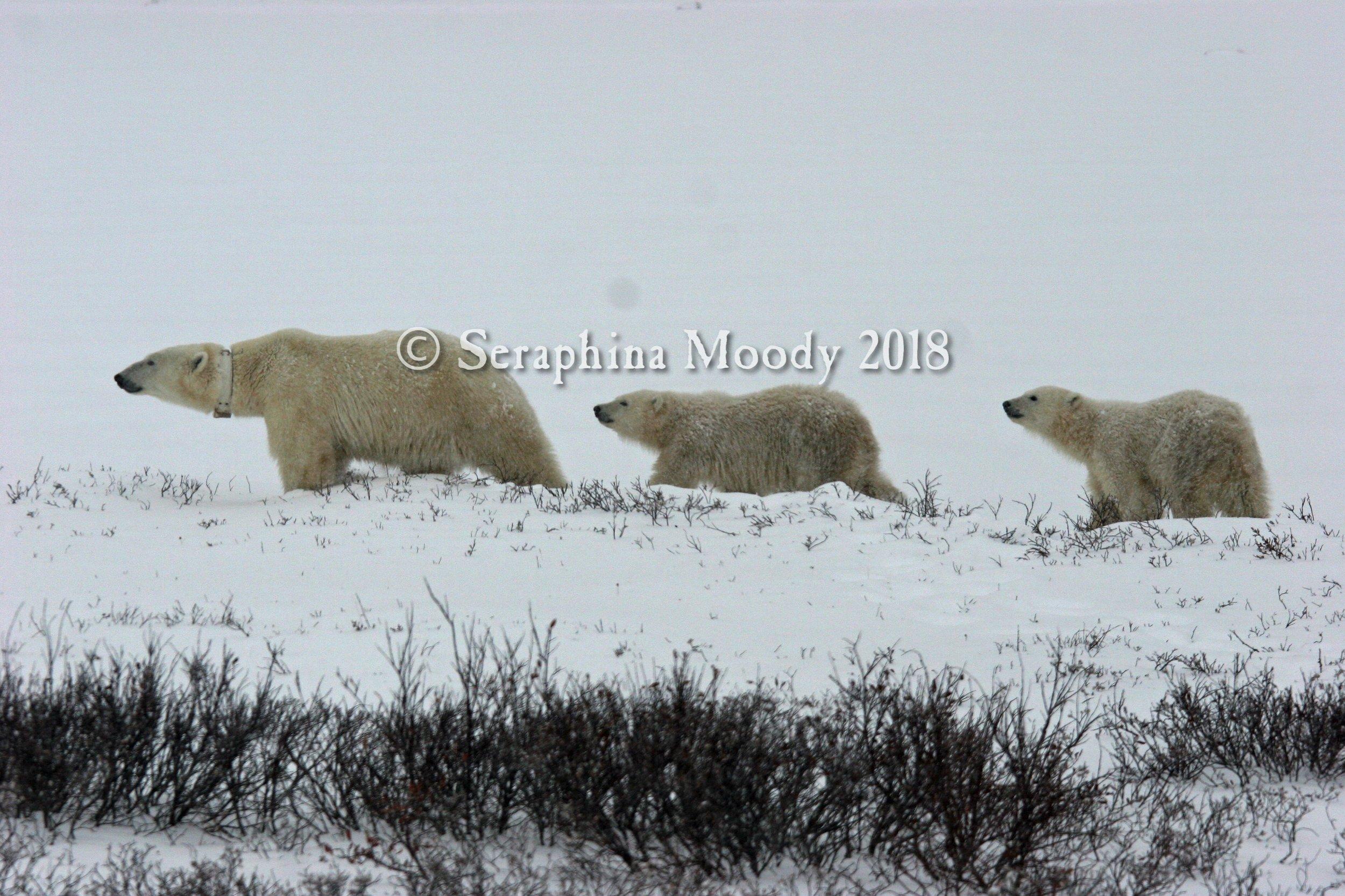 Churchill, Bears and Tundra Day 2 (290) o.jpg