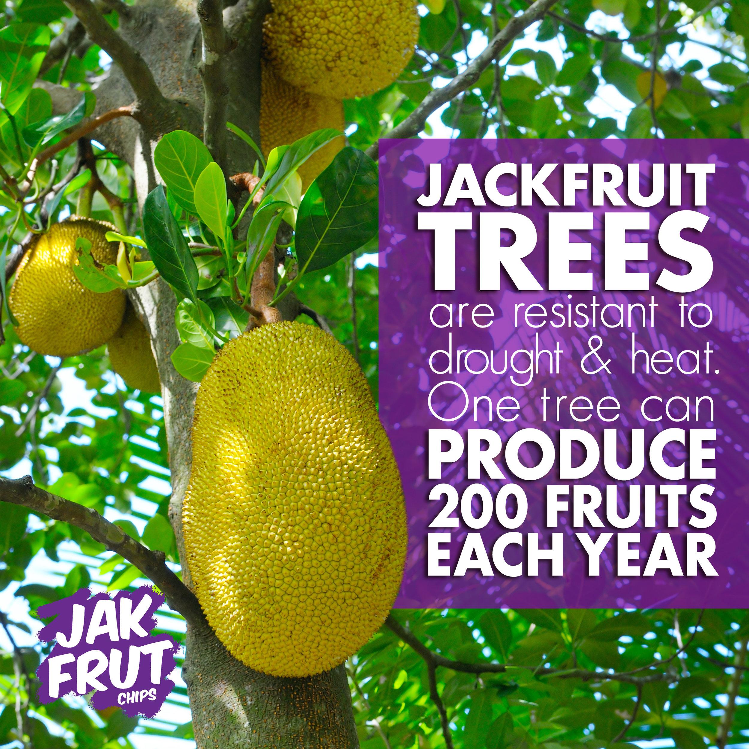 Jackfruit_Tree.jpg
