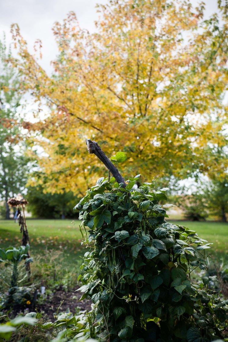 pole+beans+kitchen+garden.jpeg