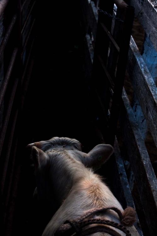 bull in chute.jpg