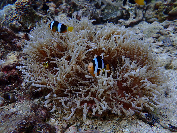 clownfish.jpeg