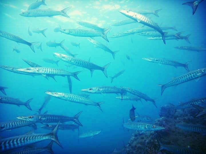 chevron barracuda.jpg
