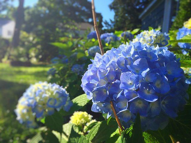 Hydrangeas are apoppin! Gonna go trim some for a vase in my living room. 😊😊 #flowerstagram #flowersofinstagram #summer #summerflowers #summer19 #garden