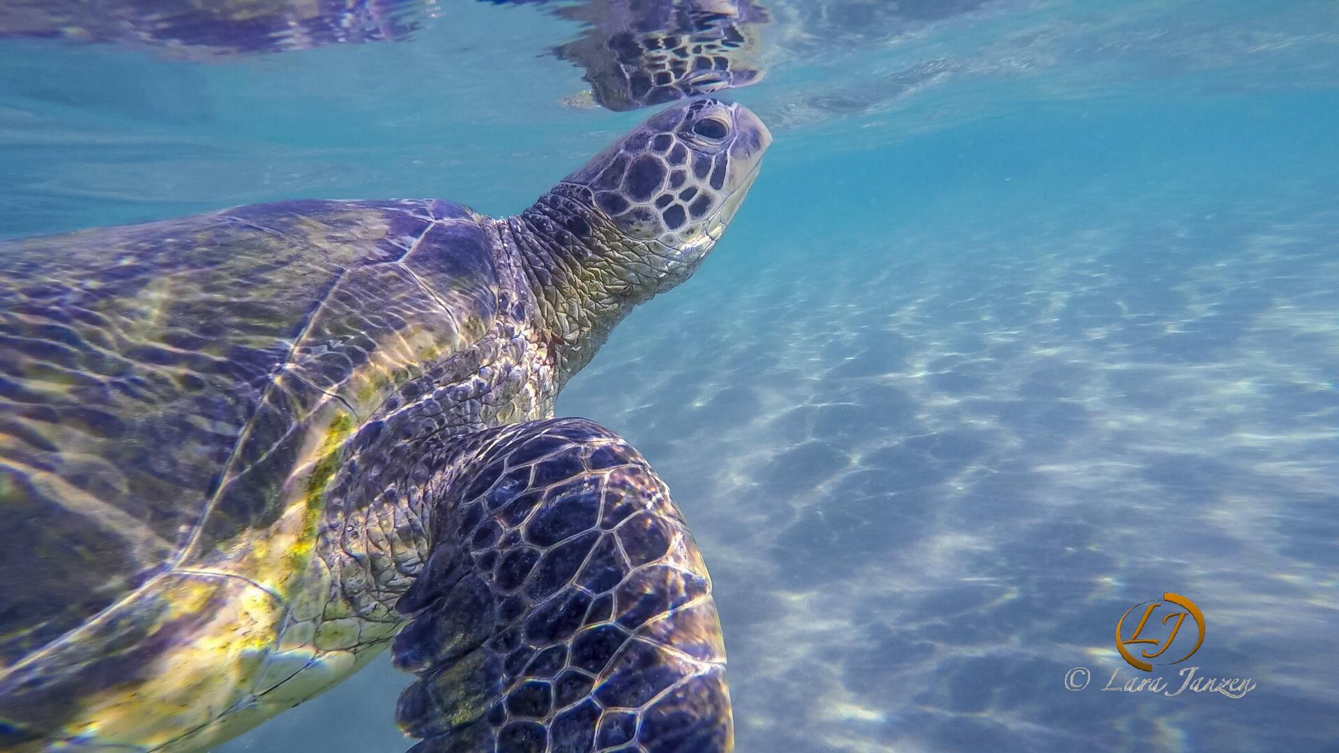 Sea Turtle_Maui.jpg
