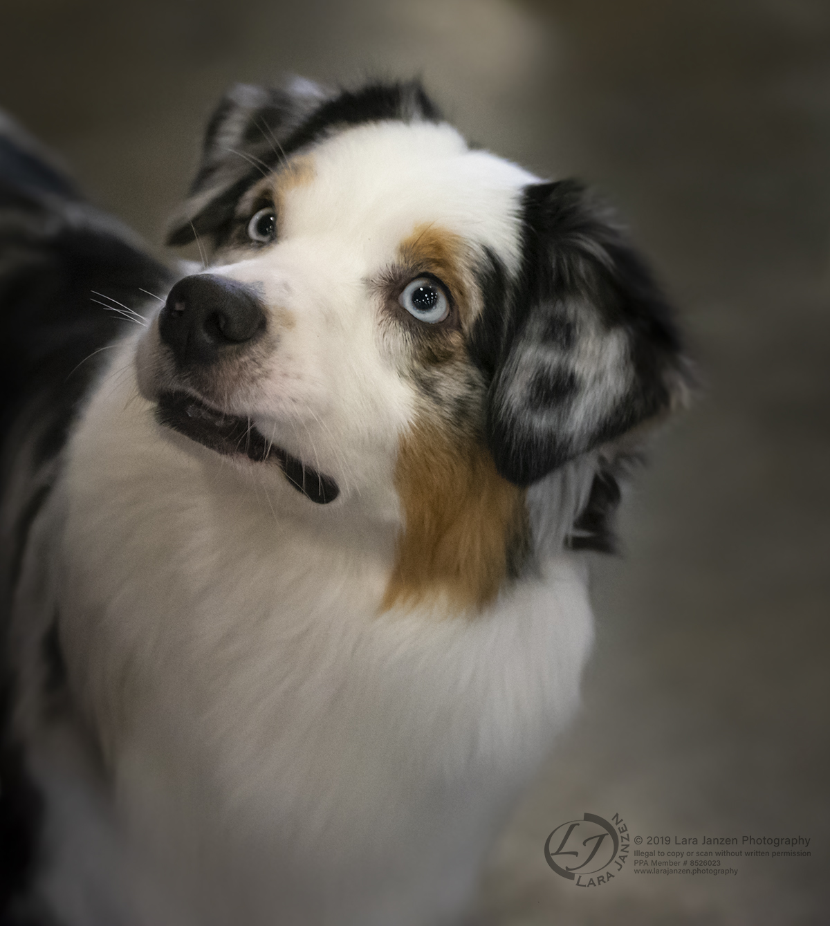 The look of love from and Australian Shepherd