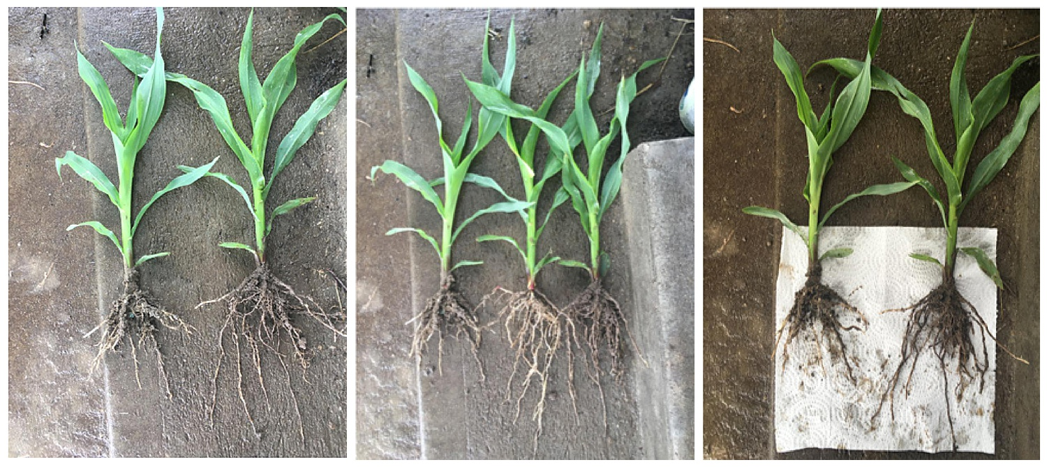 Corn on the left side of the images without HEF, the right side is with HEF. Notice the larger root mass.