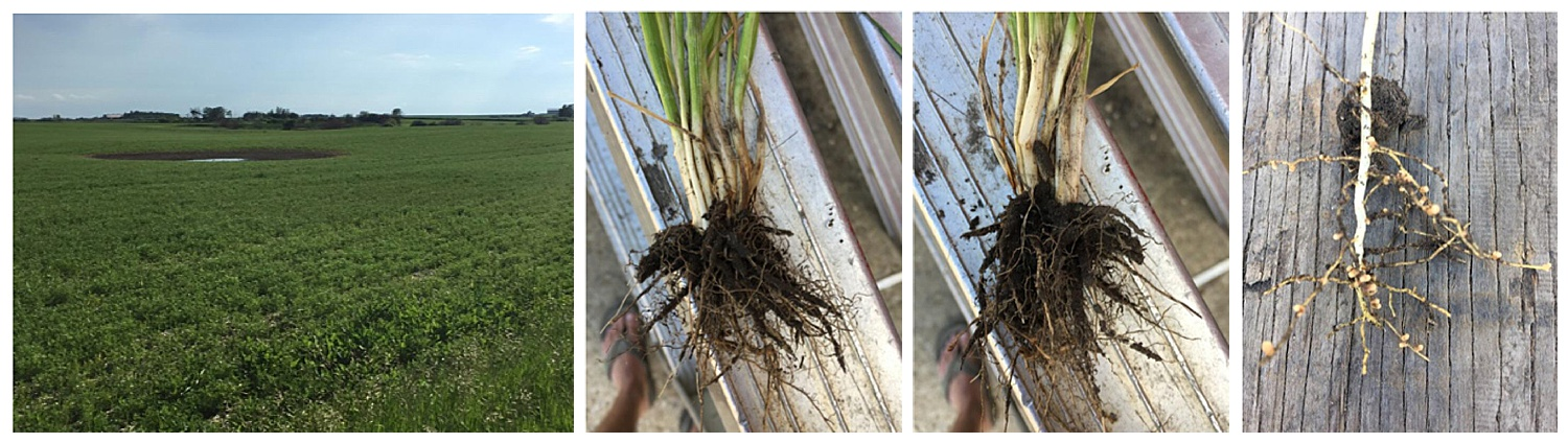 Durum Wheat Root and Soybean Root