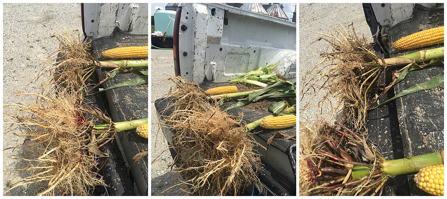 Top corn without fish soil amendment, bottom with HEF 2-3-0.