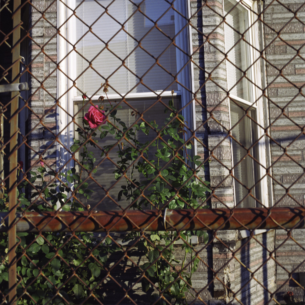 Rose in Fence.jpg
