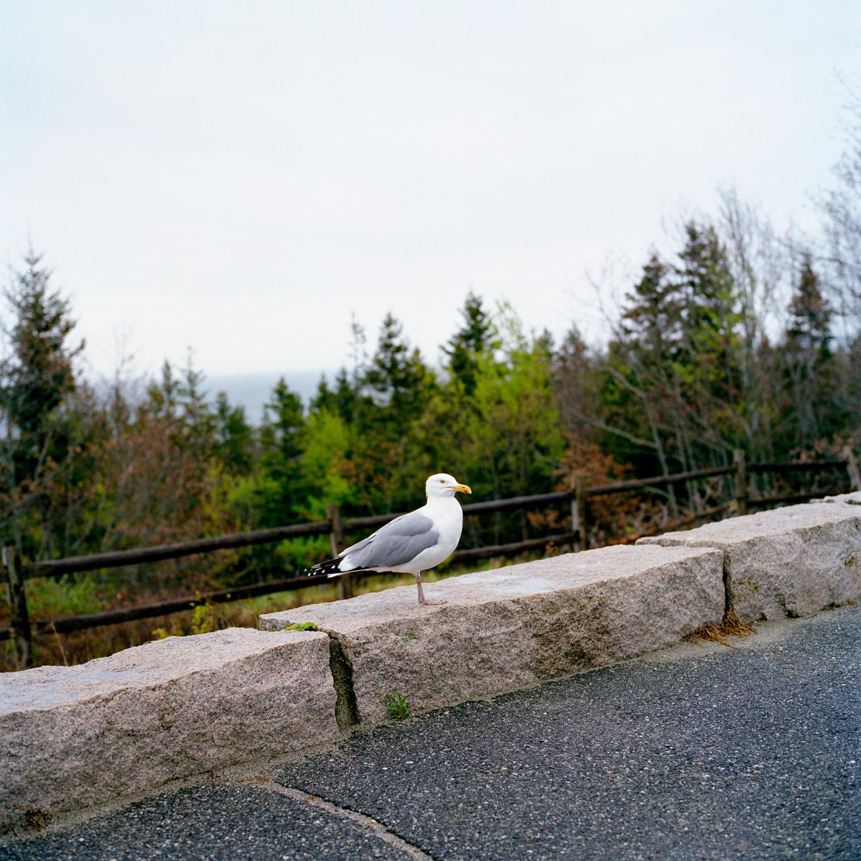 25_Parklife_Acadia_Seagull.jpg