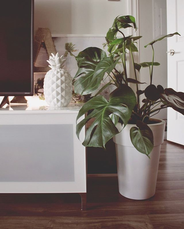 "My favorite way to add more ""mindfulness"" to my space is with plants. ⠀⠀⠀⠀⠀⠀⠀⠀⠀ ⠀⠀⠀⠀⠀⠀⠀⠀⠀ Plants offer many benefits aside from just filtering indoor air toxins and increasing oxygen. The simple act of caring for them has been shown to boost happiness levels, productivity, and creativity as well as decrease stress.⠀⠀⠀⠀⠀⠀⠀⠀⠀ ⠀⠀⠀⠀⠀⠀⠀⠀⠀ Low light plants are a great introduction into #plantparenthood. Try one of these easy house plants to add to your space:⠀⠀⠀⠀⠀⠀⠀⠀⠀ 🌱 ZZ Plant ⠀⠀⠀⠀⠀⠀⠀⠀⠀ 🌱 Philodendron ⠀⠀⠀⠀⠀⠀⠀⠀⠀ 🌱 Pothos ⠀⠀⠀⠀⠀⠀⠀⠀⠀ 🌱 Peace Lilly⠀⠀⠀⠀⠀⠀⠀⠀⠀ 🌱 Snake Plant⠀⠀⠀⠀⠀⠀⠀⠀⠀ ⠀⠀⠀⠀⠀⠀⠀⠀⠀ Currently I'm loving my peace lily, but looking to add a Monstera to the family -- it's one of my faves and i love #monsteramonday!⠀⠀⠀⠀⠀⠀⠀⠀⠀ ⠀⠀⠀⠀⠀⠀⠀⠀⠀ Do you have #houseplants? What's your favorite? ⠀⠀⠀⠀⠀⠀⠀⠀⠀ ⠀⠀⠀⠀⠀⠀⠀⠀⠀ #zen #growthmindset #inspiration #personaldevelopment #positivevibes #lawofattraction #plantlife #lifestylechange #faith #creative  #manifestation #mindfulness #wellnessblog #lifestyle #perspective #blogger #plantdecor #createyourhappy  #transformation #instagood #wellness #positivemindset #greenthumb #goodvibes #vibewellco"