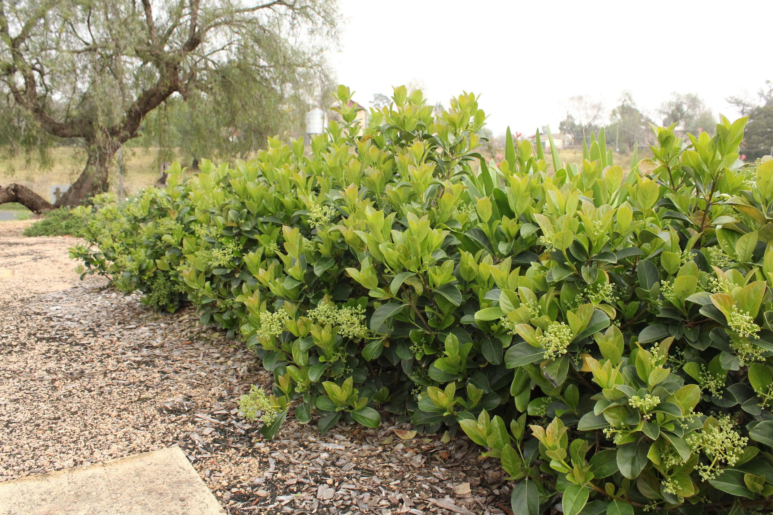 Dense Fence™ Viburnum odoratissimum 'VOC1' PBR