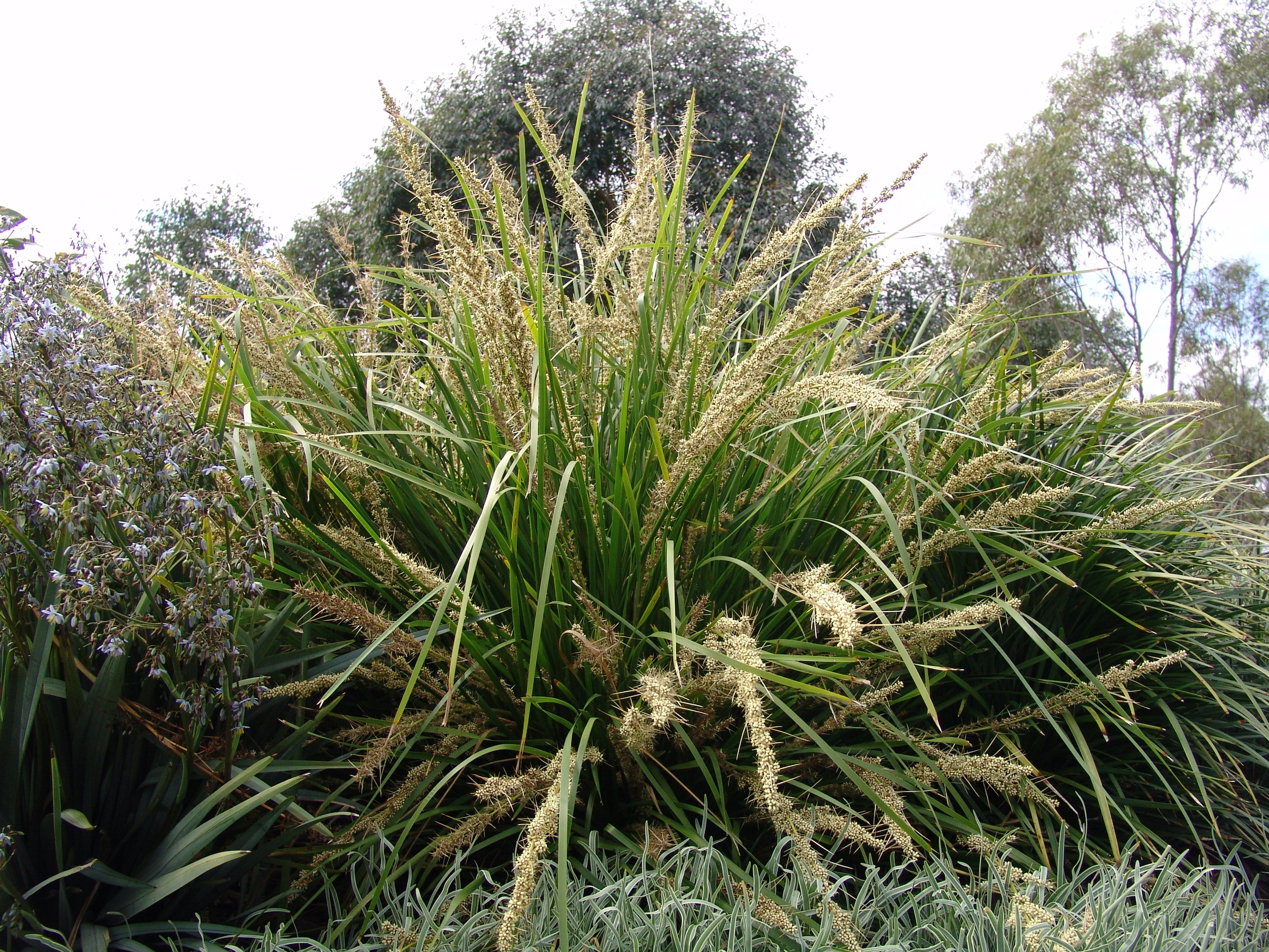 Katrinus Deluxe Lomandra longfolia 'Katrinus Deluxe' PBR