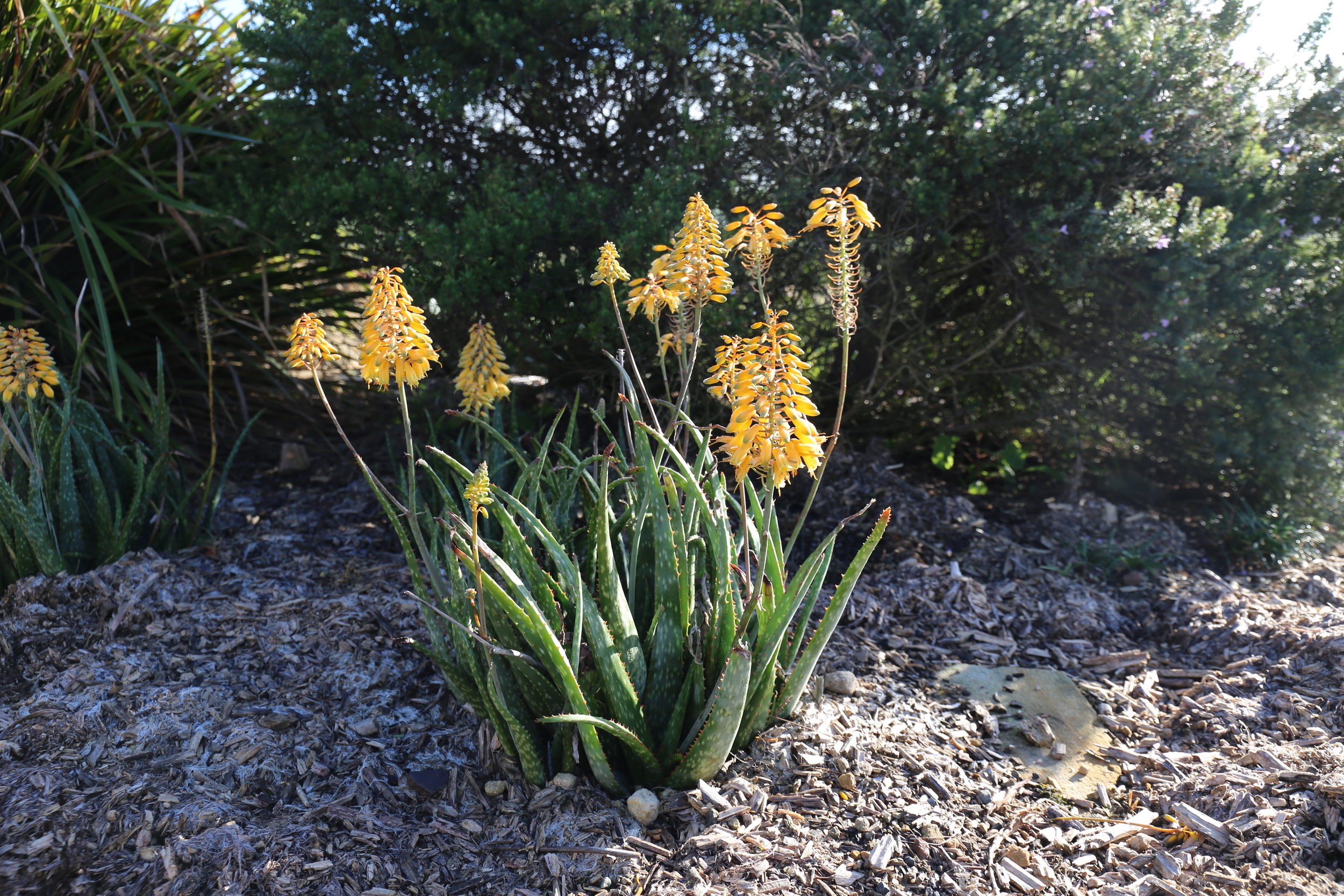 Mighty Gold™ Aloe hybrid 'AL02' PBR