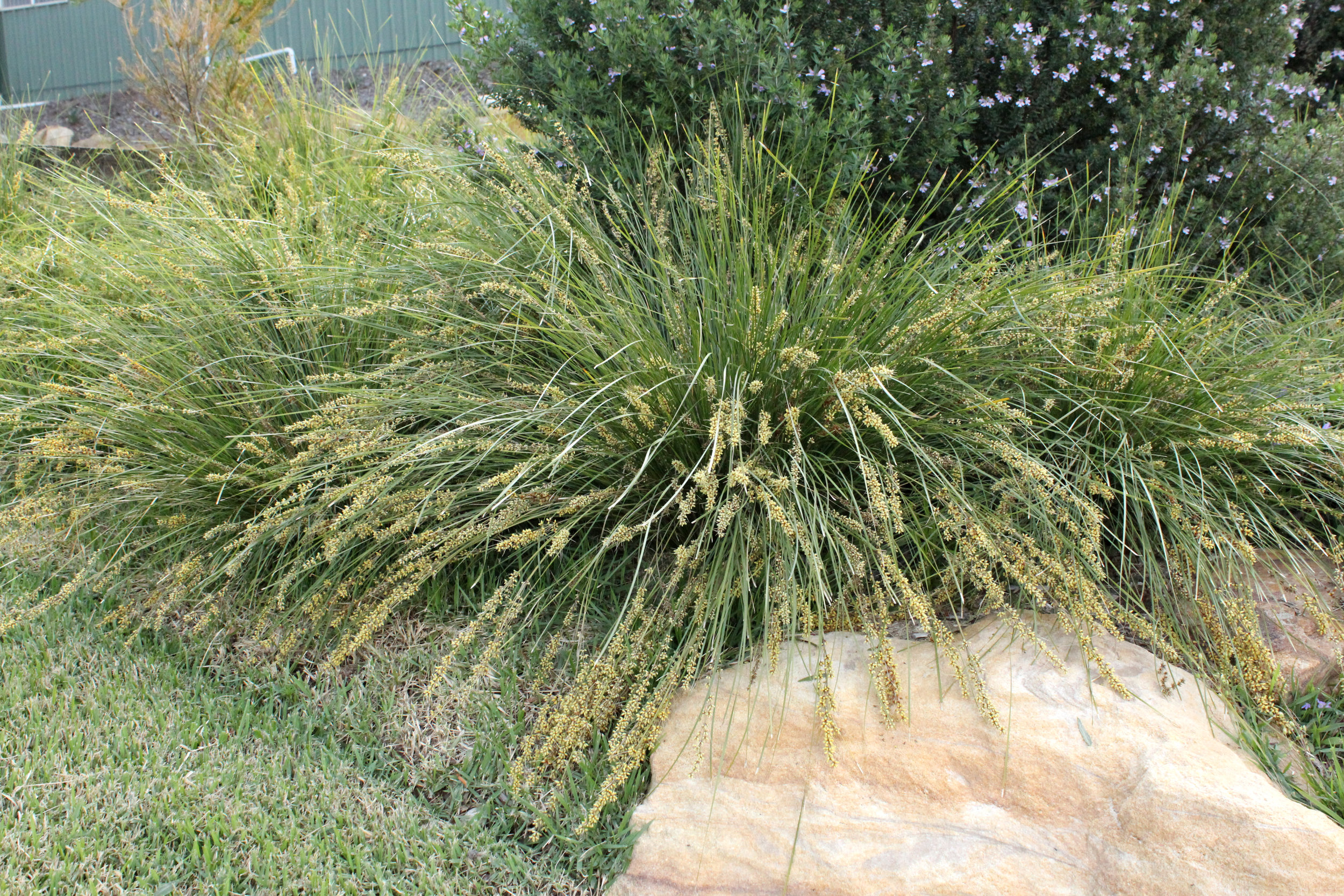 Shara™ Lomandra fluviatilis 'ABU7' PBR