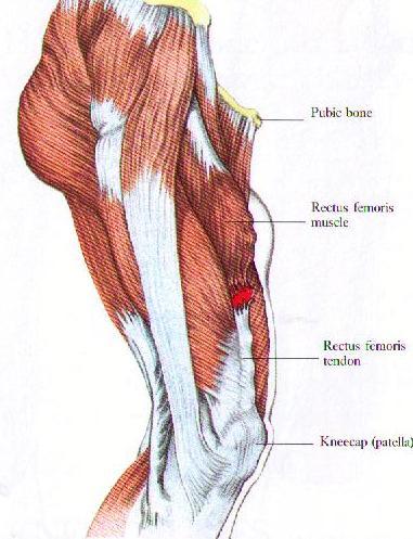 Quadricep-muscle-diagram.jpg