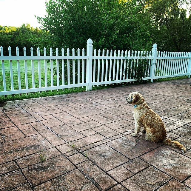 Everything the light touches is your kingdom... #doggymommy #contemplativedog #goodmorning #bokertov #backyardlife