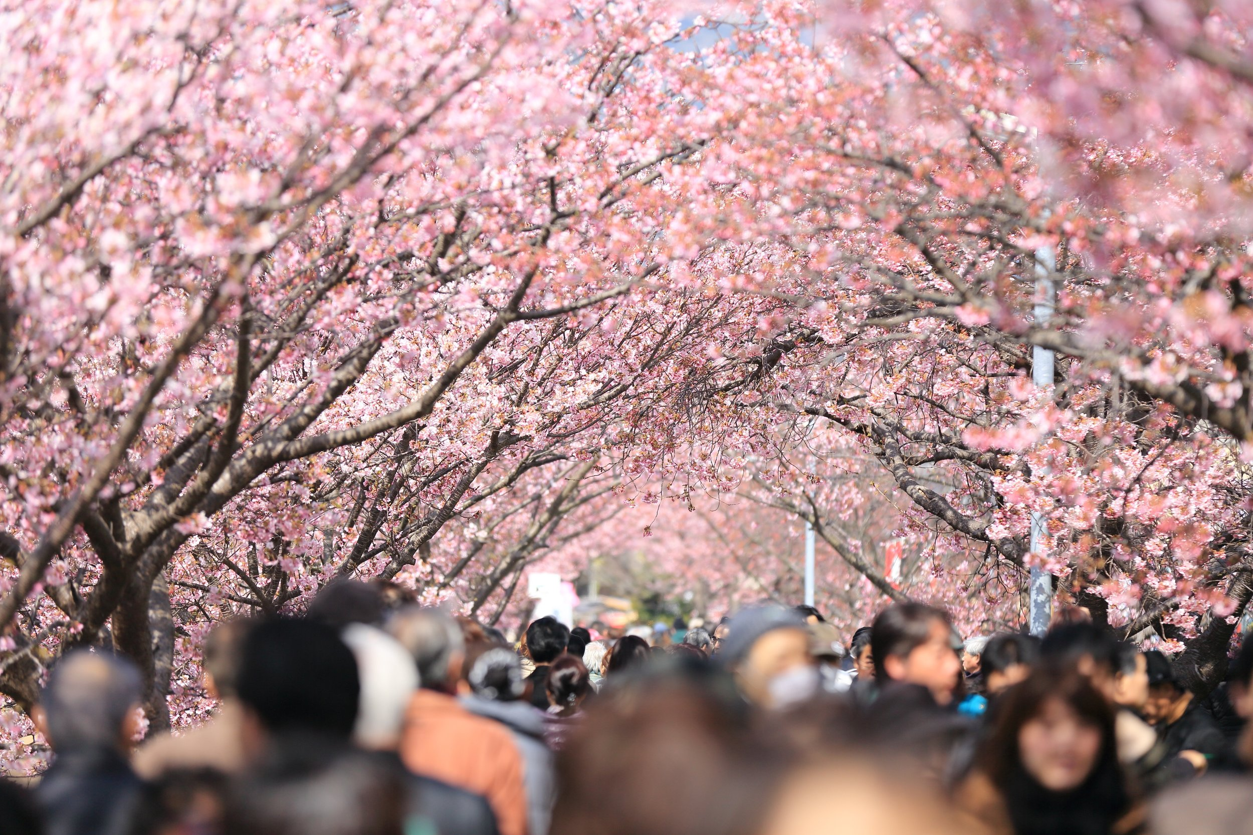 Pedestrians walking under Cherry Blossom trees. Photo by  kazuend  on  Unsplash .