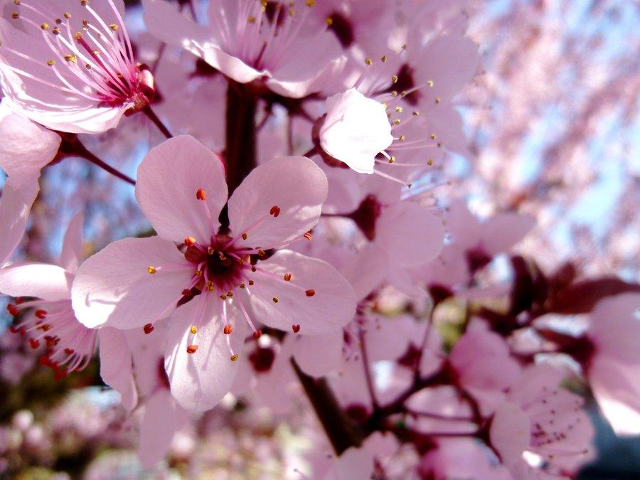cherry_blossom_by_jennyxlove59-d4uraa9.jpg