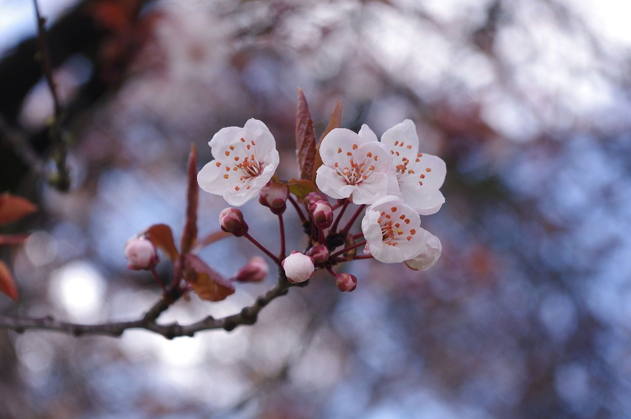 1280px-Cherry_blossoms_in_Vancouver_1.jpeg