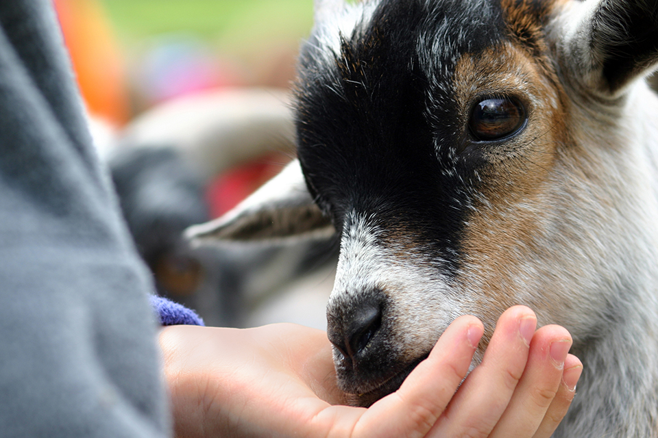 child-feeding-baby-goat.jpg
