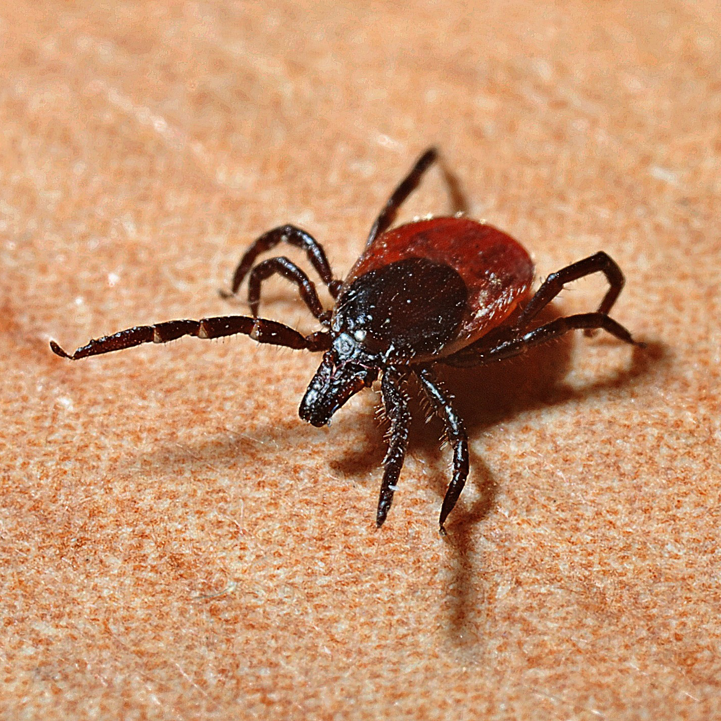 black legged / deer tick