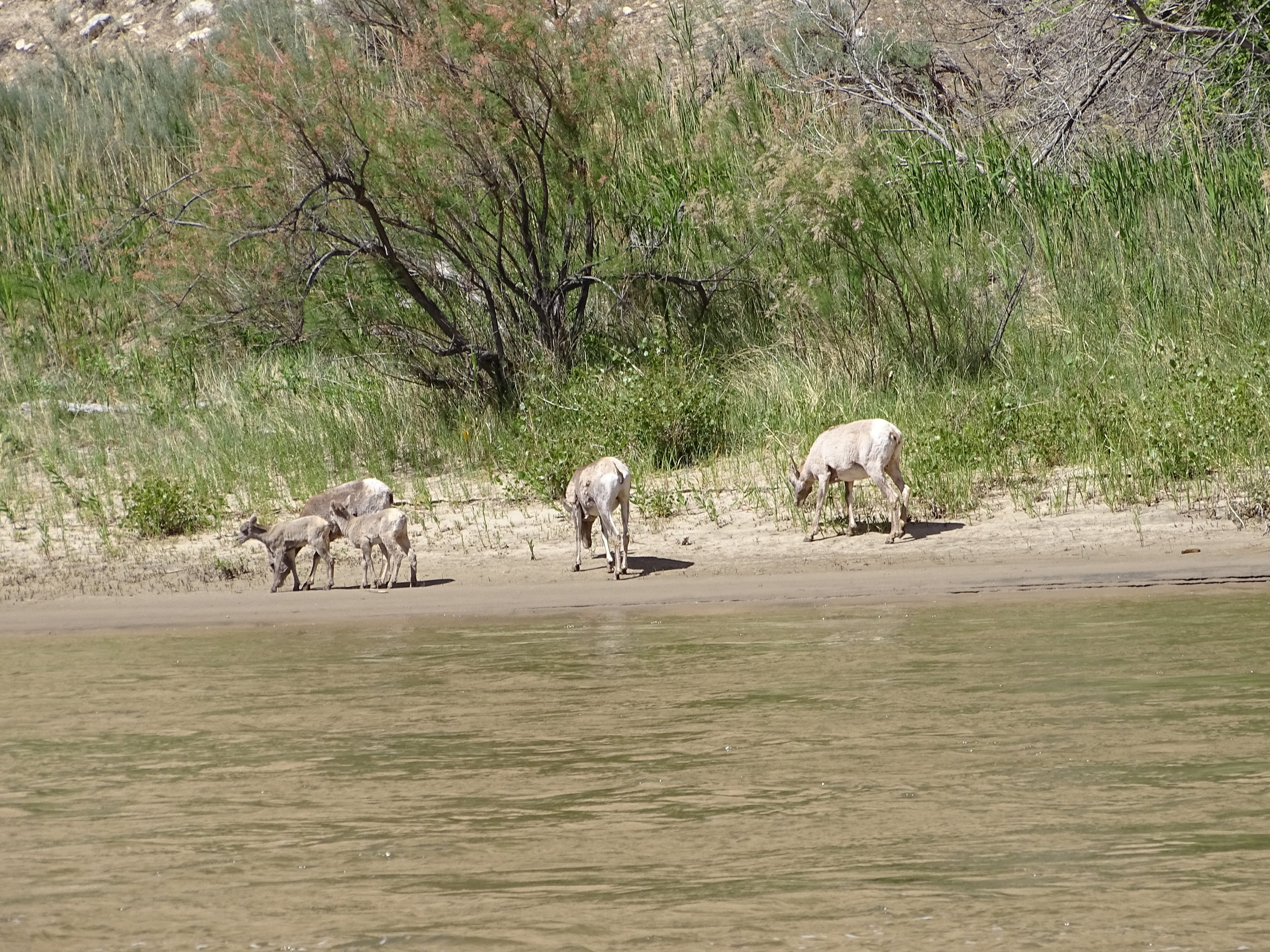 A family of Big Horn sheep on the river bank at the end of our trip