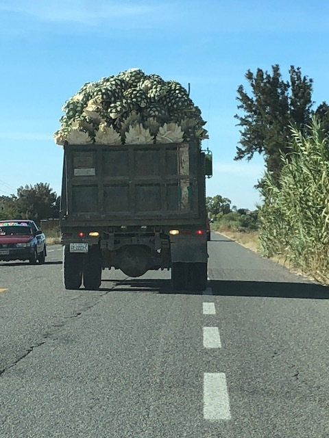Freshly cut pinas loaded in the back of a truck
