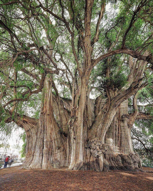 Arbol de Tule - A cypress tree with a 138 ft circumference and 46 ft diameter.. Its estimated to be about 1400 years old!