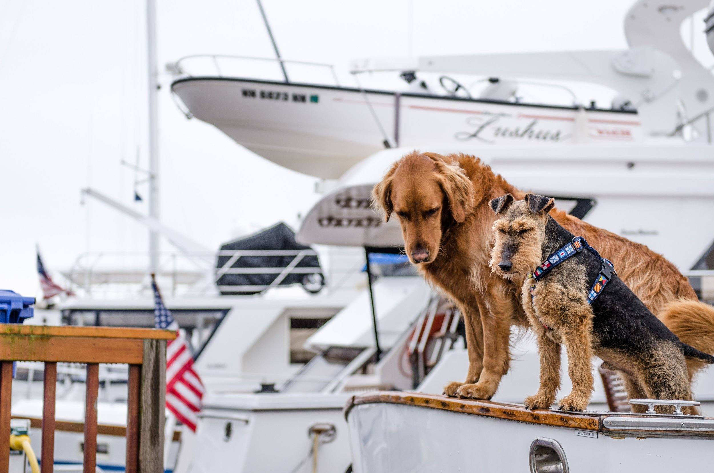 dogs on super yacht in marina.jpg
