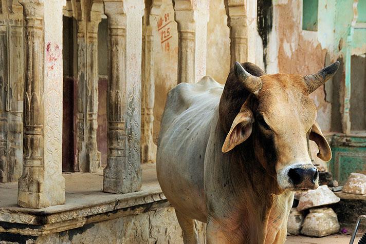 Mucca sacra India.jpg