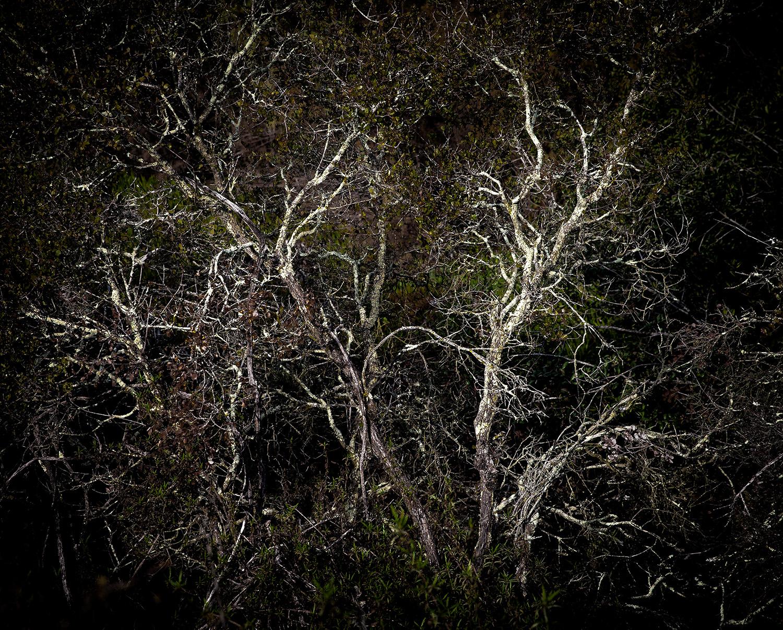 Miramar White Tree 2017