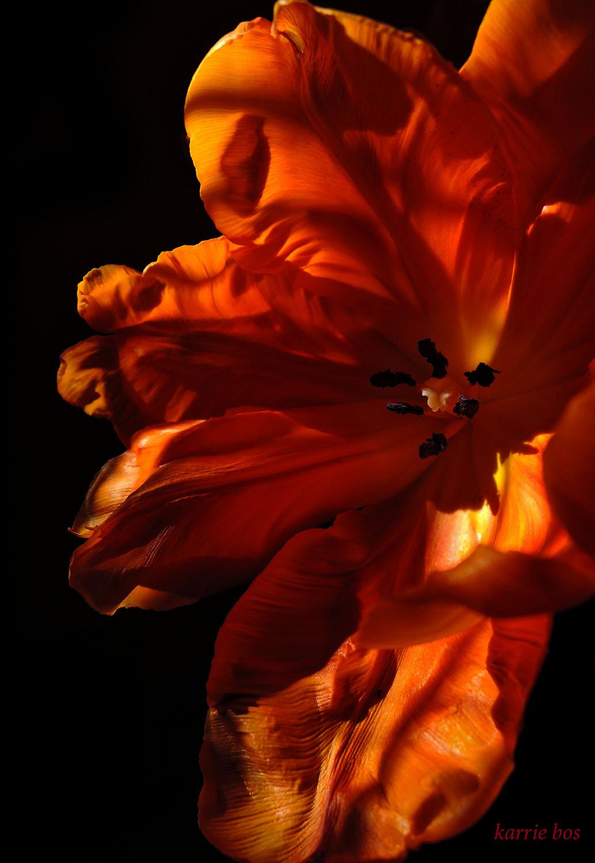 DSCN0540 face in orange tulip minion pro 48p.jpg