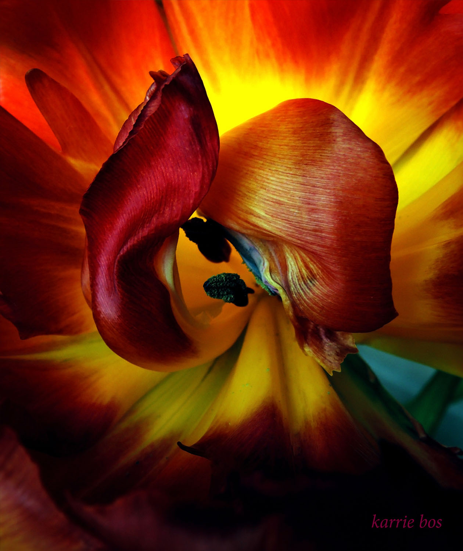 DSCN1662 tulip curl minion pro 60p.jpg