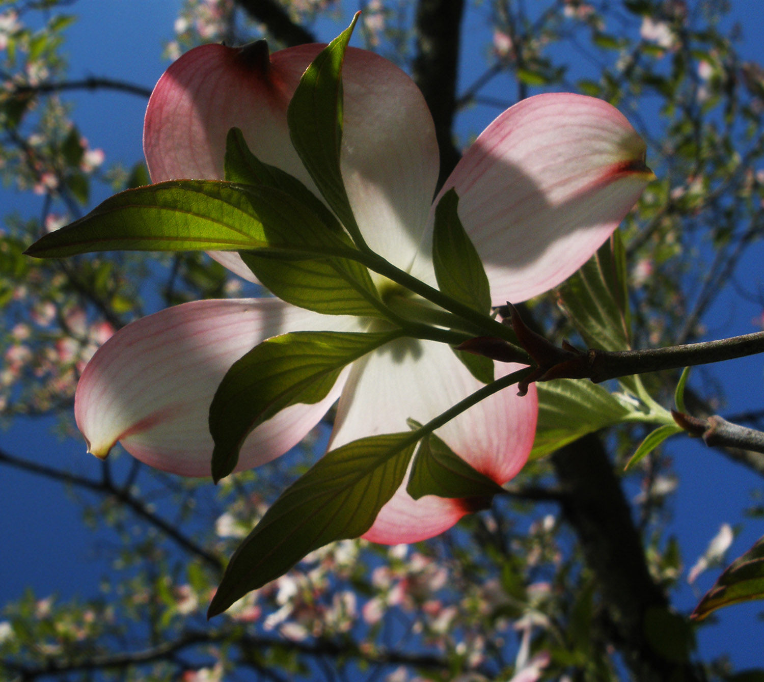5. pink dogwood in the sky, by k. bos