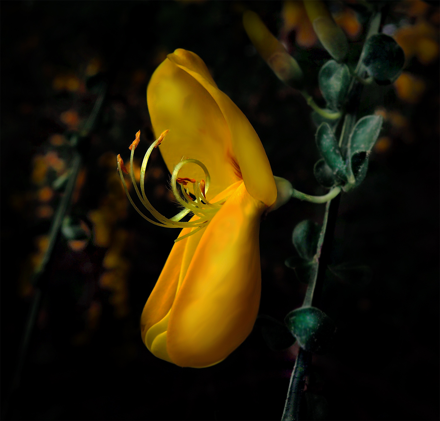 94. bloomin' scotch broom, by k. bos